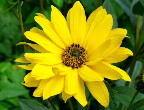 Arnica – the wonder of nature