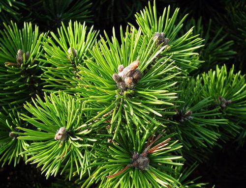 Mountain pine: Austrian all-rounder